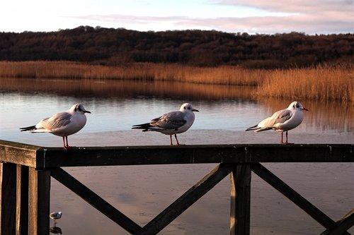 lake  sea  seagull