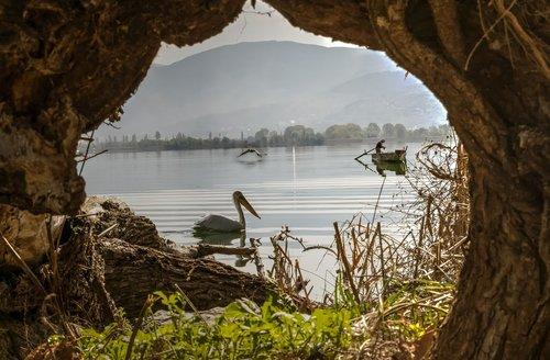 lake  tree  pelican