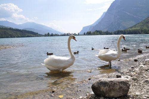 lake swan bird