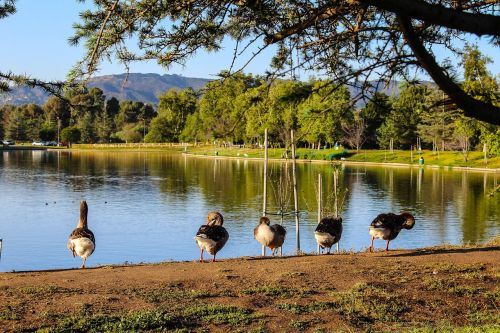 lake balboa domestic geese lake