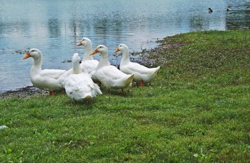 lake mingo ducks ducks kentucky