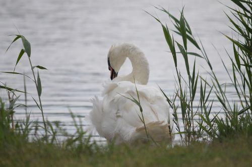 lake neusiedl burgenland swan
