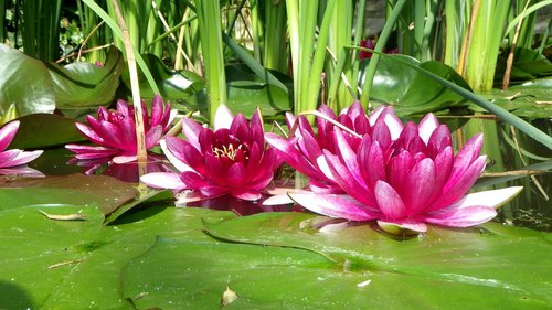 lake rose  floral  aquatic plant