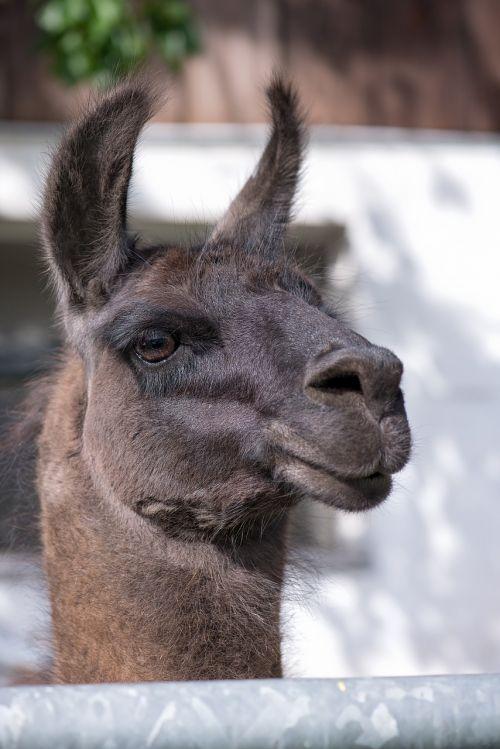 lama animal head