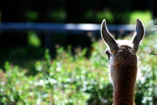 lama animals llama