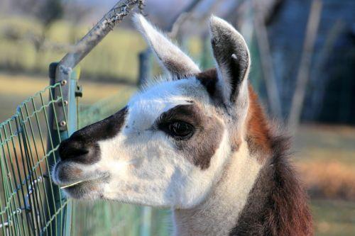 lama camel lama head
