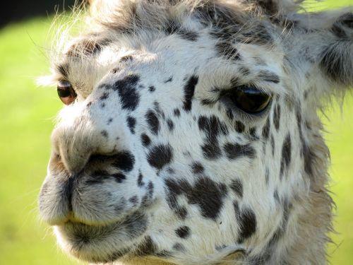 lama head animal