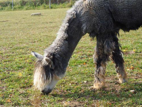 lama camel paarhufer