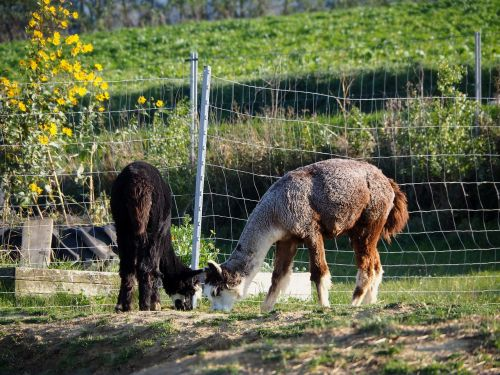 lama animal cute