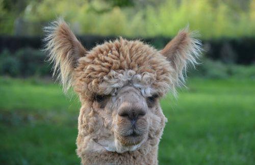 lama lama head to face domestic animal camelid