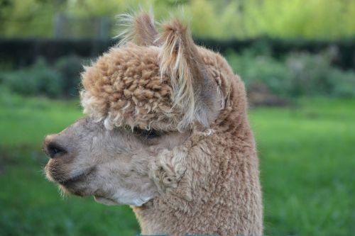 lama head lama profile domestic animal