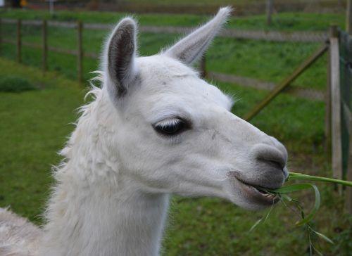 lama head lama profile white lama