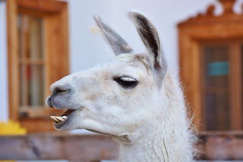 lama  lama head  animal