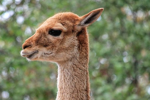 lama  animal  mammal