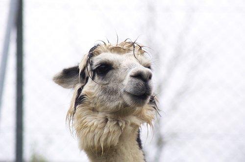 lama  animals  alpaca