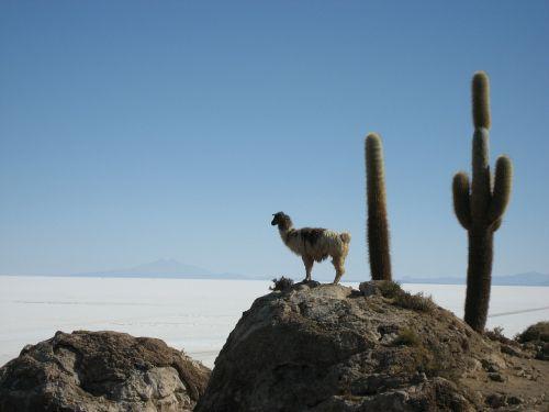 lama,salar de uyuni,Bolivija