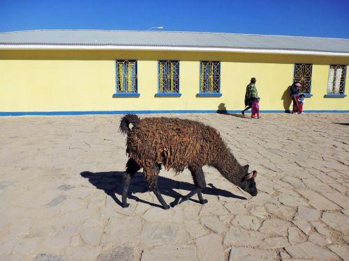 lama bolivia salar de uyuni