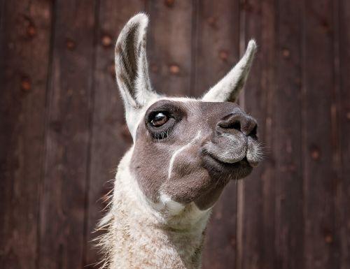 lama camel mammals
