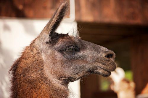 lama camel animal
