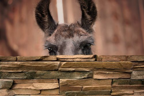 lama lama head camel
