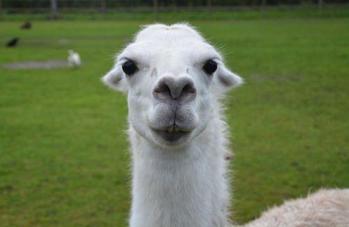 lama head lama white lama herbivore