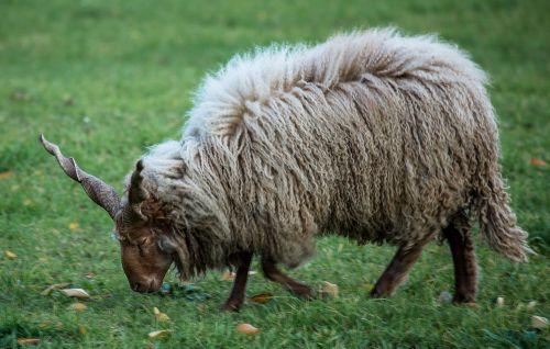 lamb sheep pets