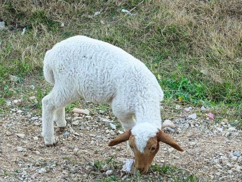 lamb,sheep,animal,breeding,nature