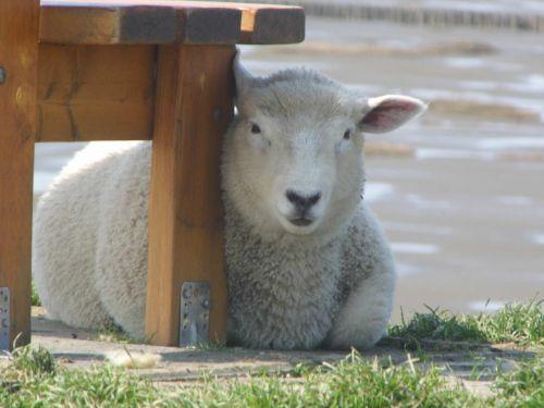 lamb dike dithmarschen