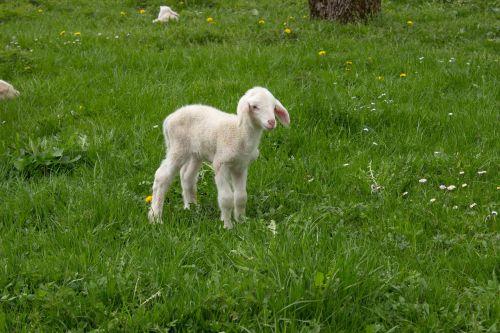 lamb spring meadow