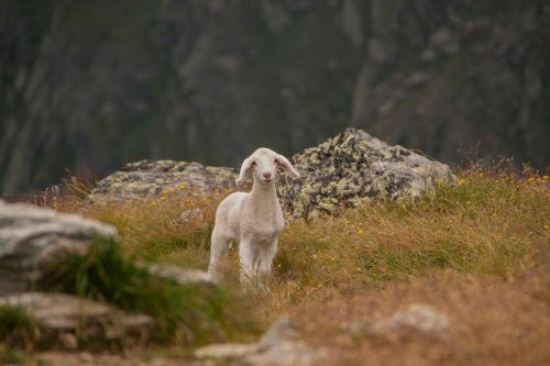 lamb animal sheep