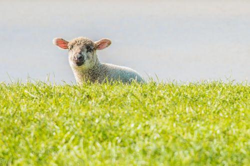 lamb sheep dike