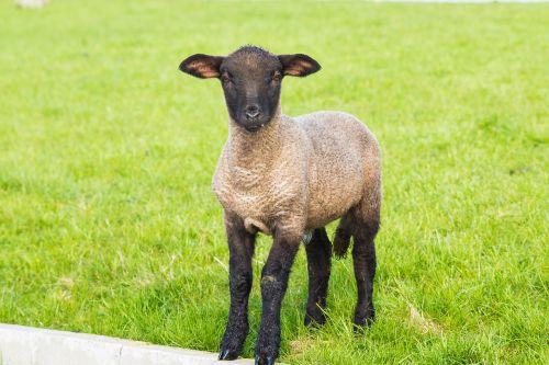 lamb easter schäfchen