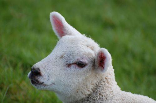 lamb passover schäfchen