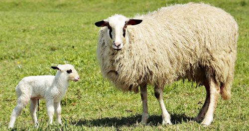 lamb sheep animal