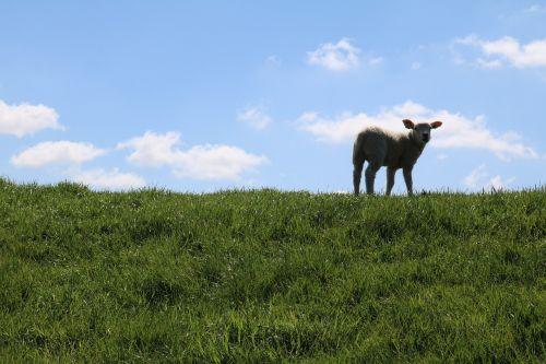 lamb dike sweet