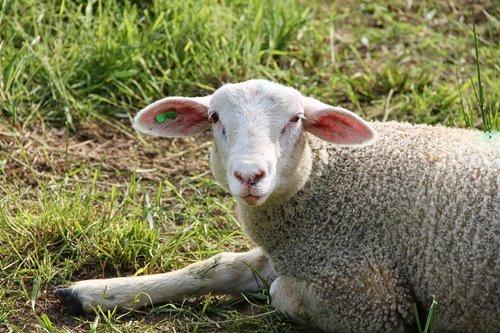 lamb  sheep  schäfchen