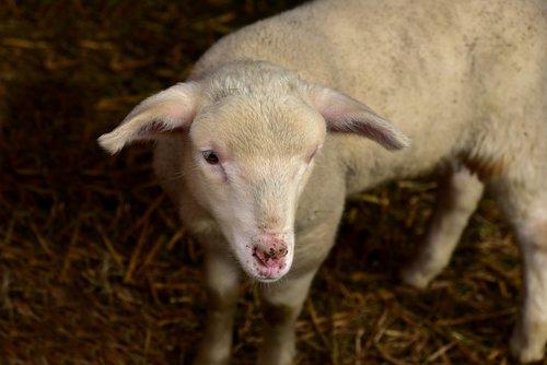 lamb  sheep  young