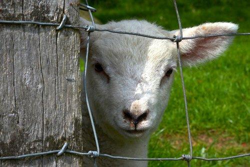 lamb  fence  animal