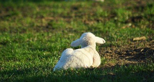 lamb  meadow  easter