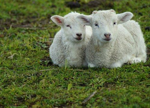 lamb  sweet  passover