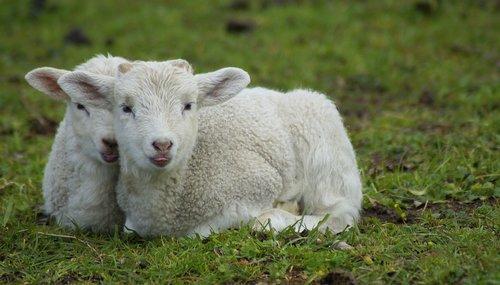 lamb  schäfchen  easter