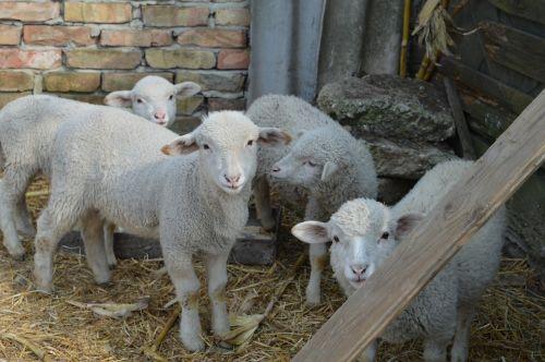 lamb sheep is watching