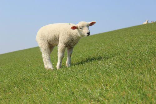 lamb dike sheep