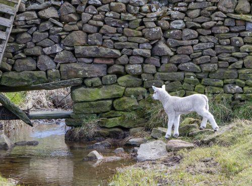 Lamb Exploring