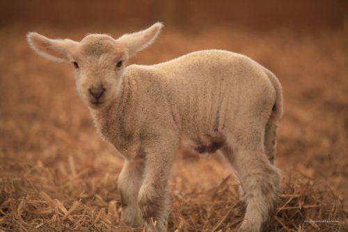 ėriena, ūkis, avys, gyvūnai, ėriukas žiūri į kamerą