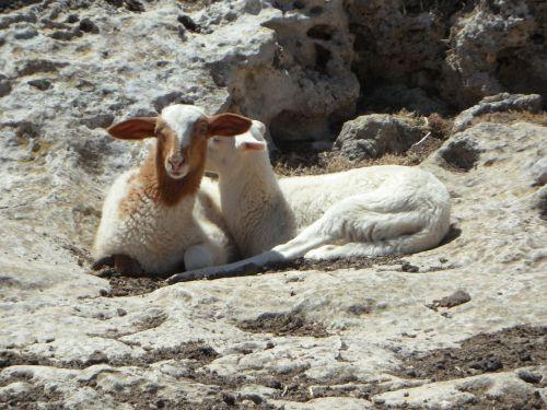 lambs lamb sheep