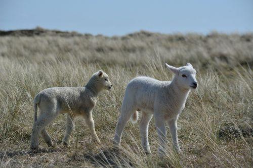 lambs sylt nature