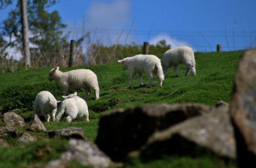 lambs sheep playful
