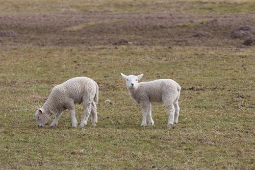 lambs lamb schäfchen