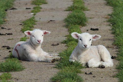 lambs sheep animal